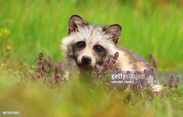 raccoon doggy in thymes - marderhund stock-fotos und bilder