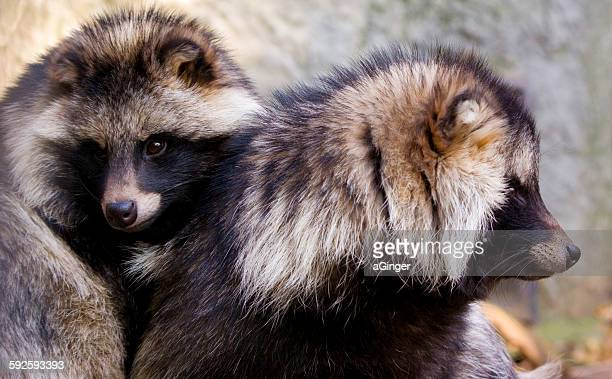 Raccoon dogs (nyctereutes procyonoides)