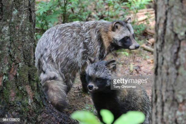 raccoon dogs - marderhund stock-fotos und bilder