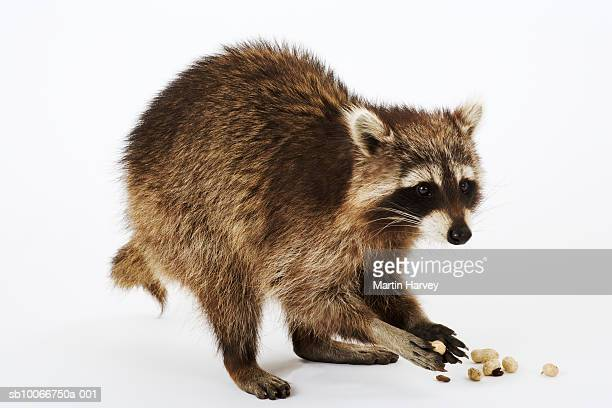 Raccoon (Procyon lotor) eating peanuts, white background
