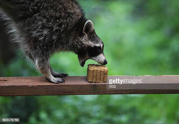A raccoon enjoys mooncake at Yunnan Wild Animal Park to celebrate the upcoming MidAutumn Festival on September 13 2016 in Kunming Yunnan Province of...