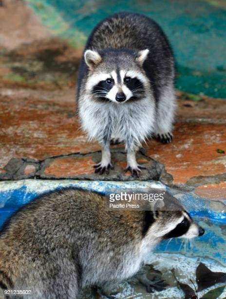 Raccoon from North America waiting for meal at Jatim 2 Secret Zoo in Batu East of Java Province During Lunar Year holiday many people go to vacation...