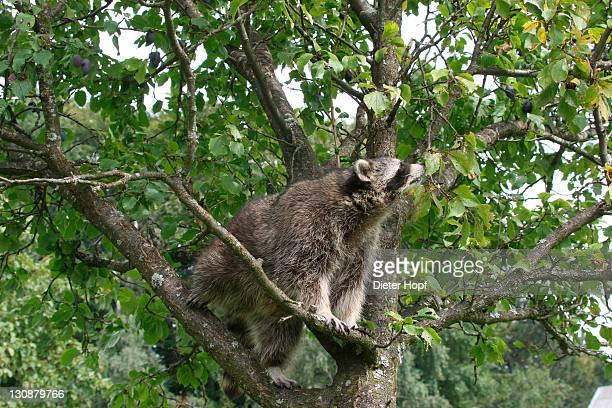 Raccoon (Procyon lotor) in a plum tree, Mecklenburg-Western Pomerania, Germany, Europe