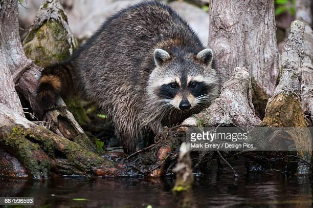 Raccoon in the Cypress knees