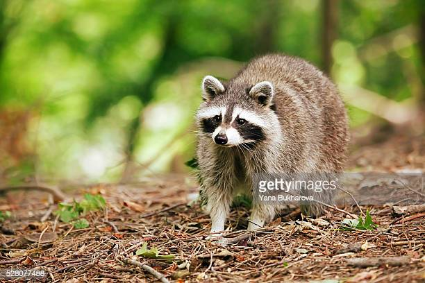 raccoon in the forest - raccoon stock pictures, royalty-free photos & images