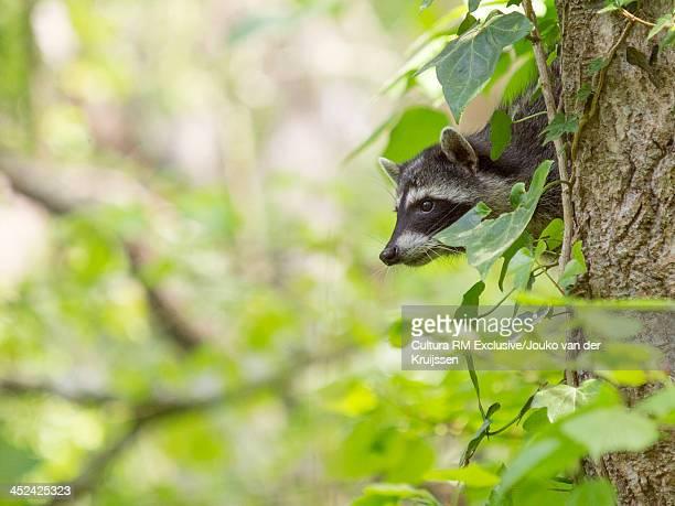Raccoon in tree, San Francisco, California, USA