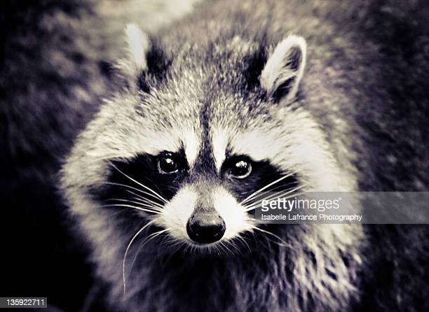 Raccoon looking at camera