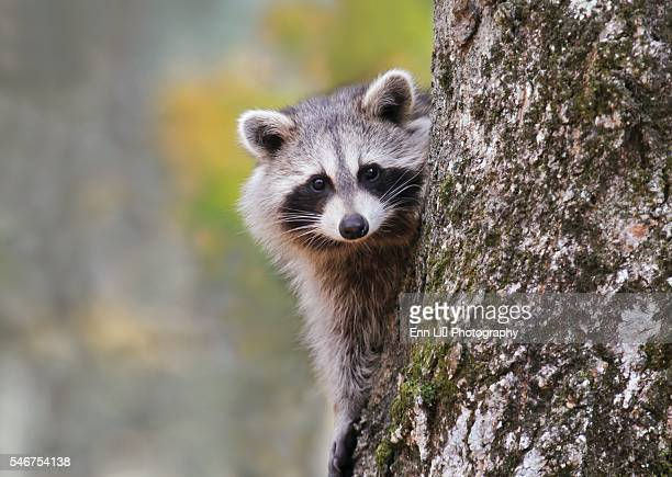 60 Top Raccoon Pictures, Photos, & Images - Getty Images