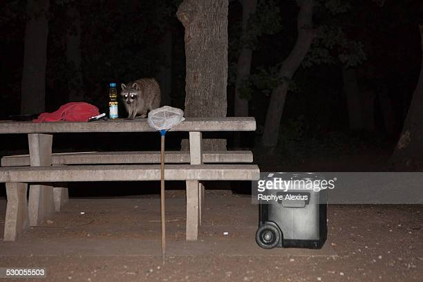 raccoon on picnic table at night, wichita mountains national wildlife refuge, indiahoma, oklahoma, usa - raccoon stock pictures, royalty-free photos & images