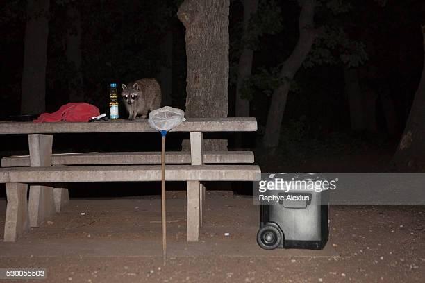 Raccoon on picnic table at night, Wichita Mountains National Wildlife Refuge, Indiahoma, Oklahoma, USA
