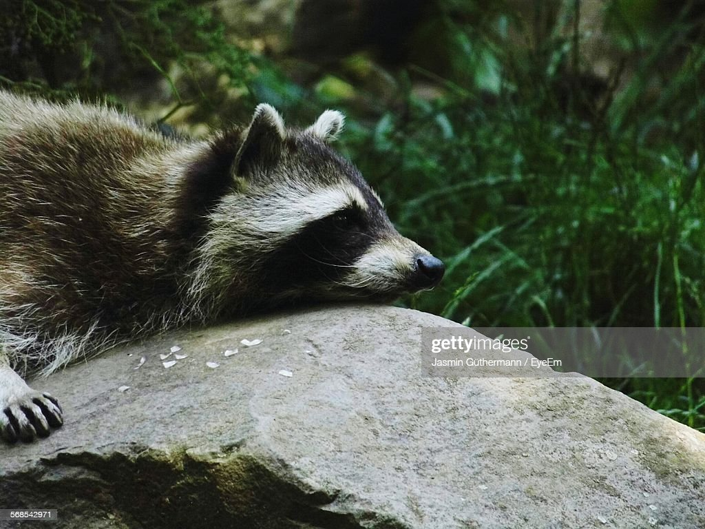 Raccoon On Rock In Forest : Foto de stock