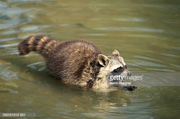 Raccoon (Procyon lotor) outdoors in water