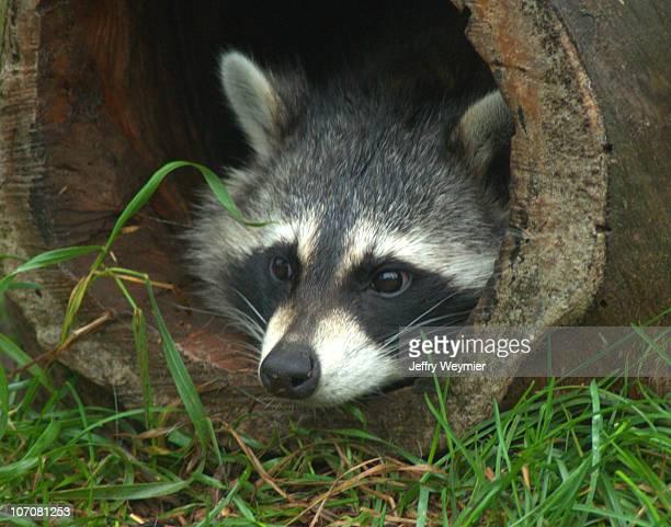 raccoon - green bay wisconsin - fotografias e filmes do acervo