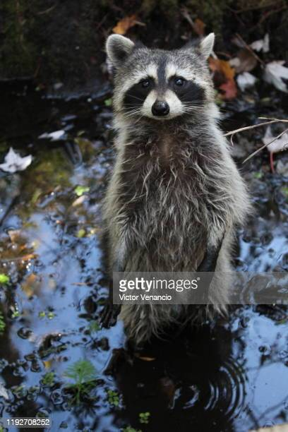 raccoon - raccoon stock pictures, royalty-free photos & images