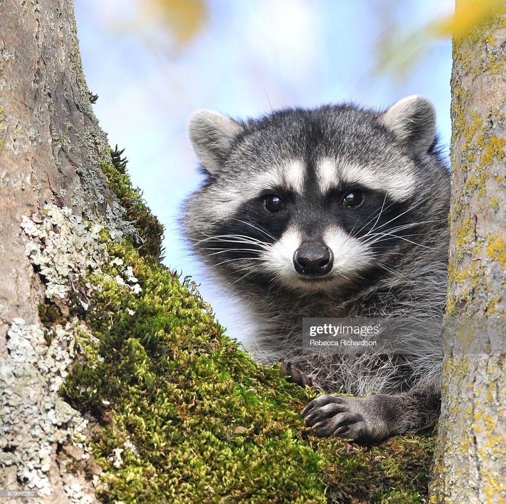 Raccoon : Stock Photo
