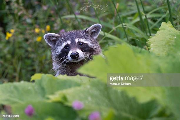 Raccoon -Procyon lotor-, captive, Germany