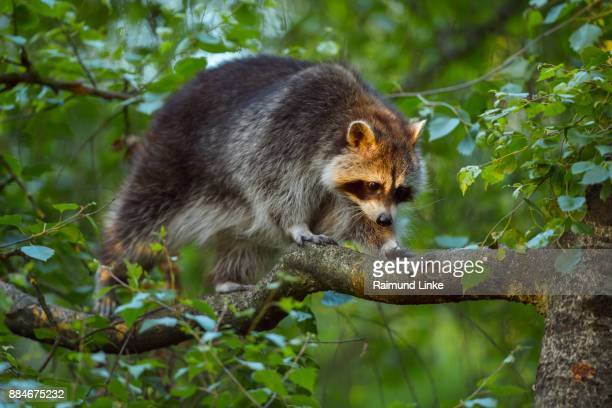 Raccoon, Procyon lotor, Climbing in the Branches