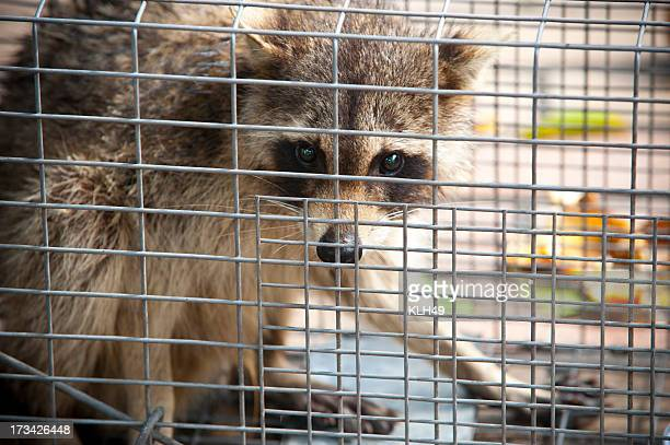 raccoon procyon lotor - raccoon stock pictures, royalty-free photos & images