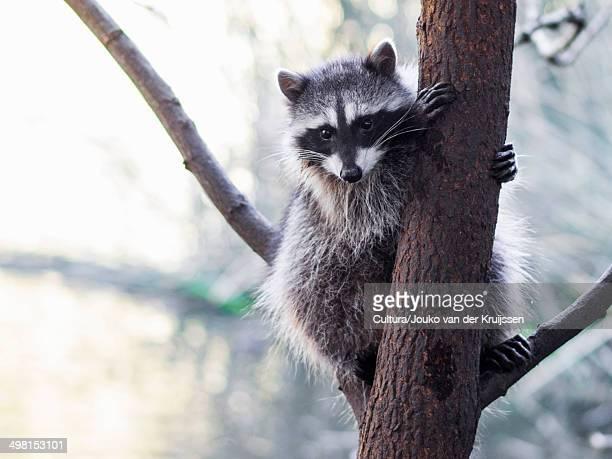 raccoon, procyon lotor, san francisco, california, usa - raccoon stock pictures, royalty-free photos & images