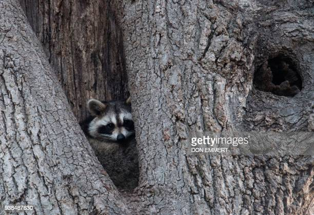 A raccoon rests in the hollow of a tree March 16 2018 near Orchard Beach in New York From coyotes in the Bronx to red foxes in Queens raccoons in...
