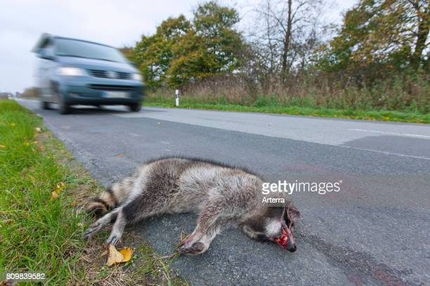 Raccoon roadkill after collision with speeding car
