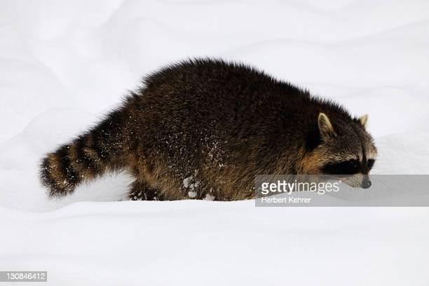 Raccoon (Procyon lotor) running through snow