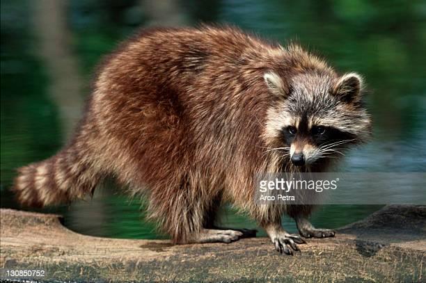 Raccoon (Procyon lotor) side