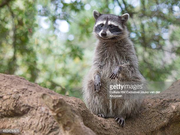 Raccoon sitting on log, San Francisco, California, USA