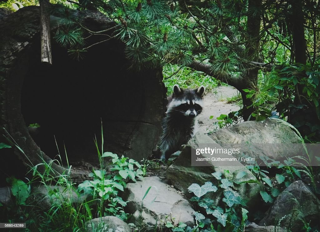 Raccoon Standing By Log Against Tree In Forest : Stock Photo
