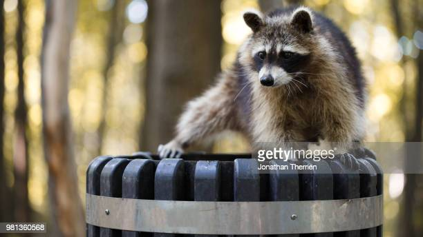 raccoon standing on trashcan in forest - raccoon stock pictures, royalty-free photos & images