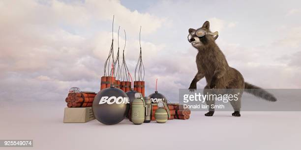 raccoon wearing goggles watching explosives - dynamite stock photos and pictures