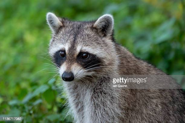 raccoon_1 - ian gwinn stock pictures, royalty-free photos & images