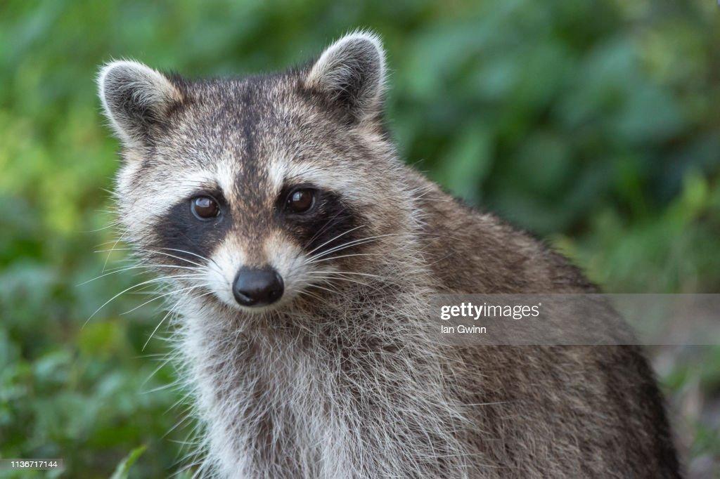 Raccoon_2 : Stock Photo