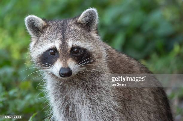 raccoon_2 - ian gwinn stock pictures, royalty-free photos & images