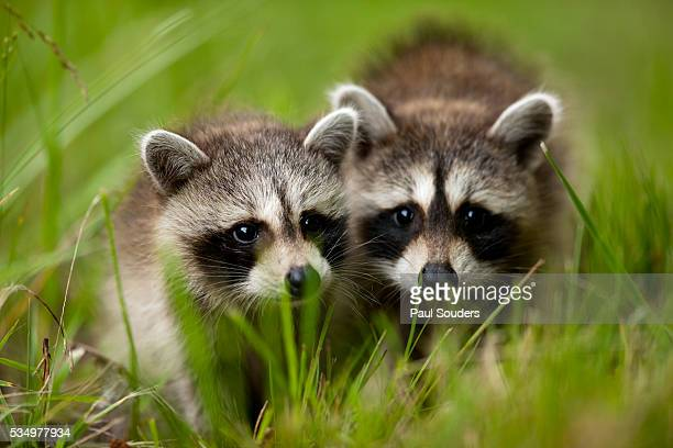 raccoons at assateague island national seashore in maryland - wilderness area stock pictures, royalty-free photos & images