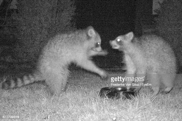 Raccoons On Field At Night