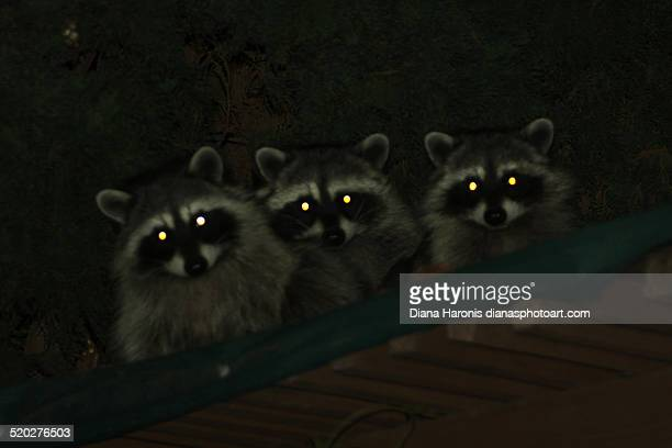 raccoons with glowing eyes - animal eye stock pictures, royalty-free photos & images
