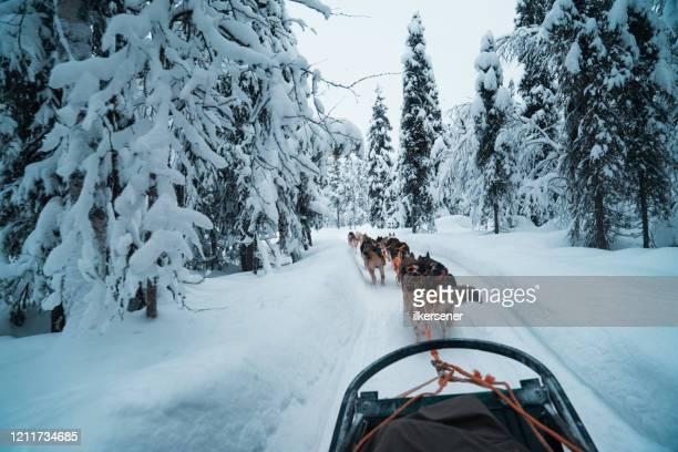 ドラフトハスキー犬のレース - マラミュート犬 ストックフォトと画像