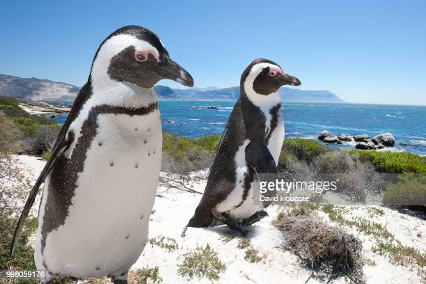 race to the sea - african penguin stock pictures, royalty-free photos & images