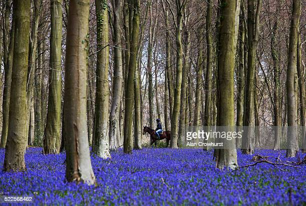 A racehorse makes its way past a bluebell covered woodland on its way to the gallops at William Knight's Lower Coombe racing stables in Angmering...