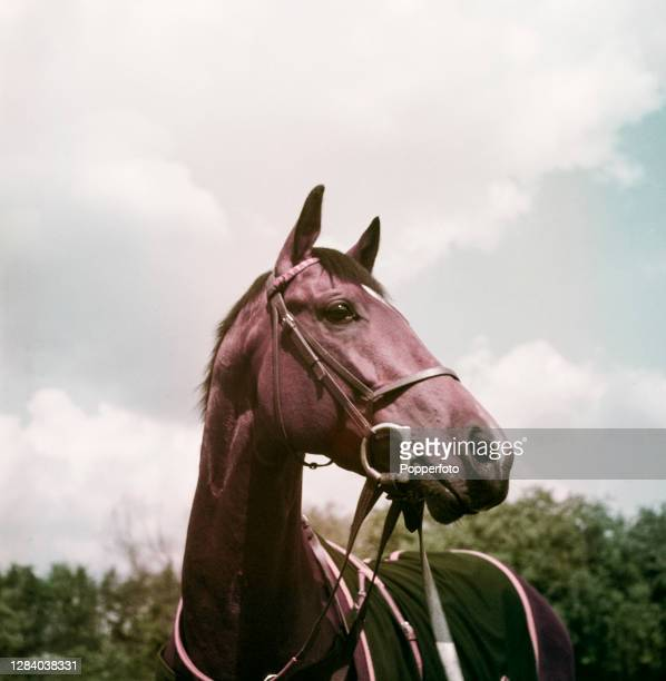 Racehorse My Babu , owned by the Maharaja of Baroda, at a stables in Newmarket, Suffolk in June 1948.