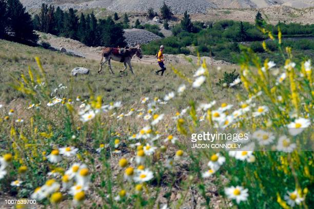 A racer runs out into a meadow during the 70th Annual Burro Days Race in Fairplay Colorado on July 29 2018 Racers equip their burro with a pack...