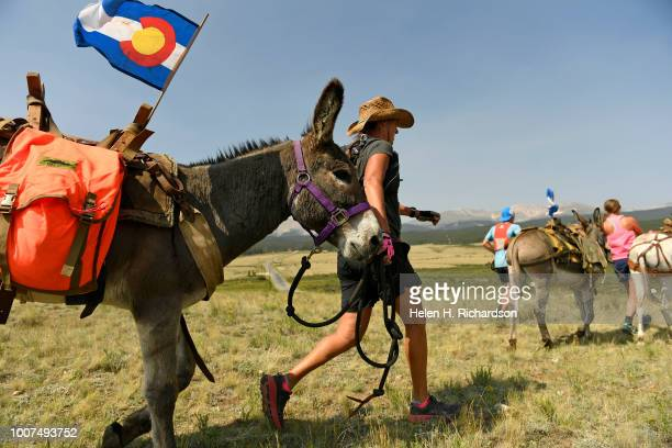 Racers begin the 70th annual World Championship Pack Burro Race on July 29 in Fairplay Colorado Each runner must lead his donkey with a 15 foot lead...