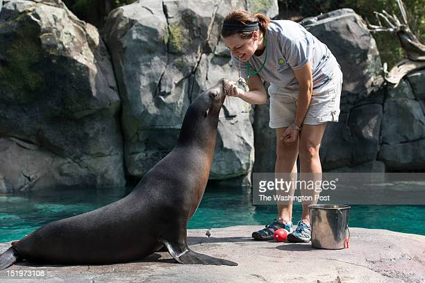 Rachel Miller a zoo keeper on the American Trail works with Summer a California Sea Lion during a demonstration Tuesday August 28 2012 in Washington...
