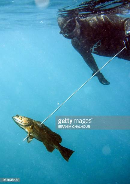 Rachid Zock a 38yearold Lebanese freediving and spearfishing instructor shows a Grouper fish that he hunted with a speargun while diving off of the...