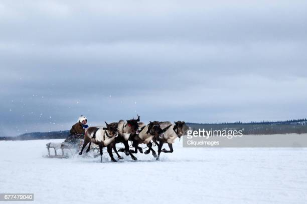 racing at reindeer herders day - cliqueimages stock pictures, royalty-free photos & images