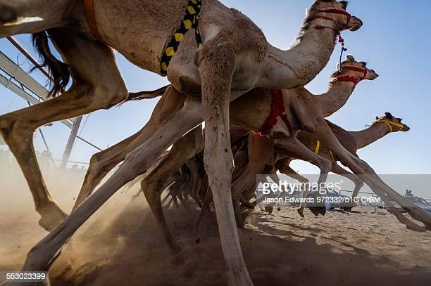 Racing camels launch from the start gate and stampede down a sand race track. Bidiya, Sharqiya Region, Sultanate of Oman.