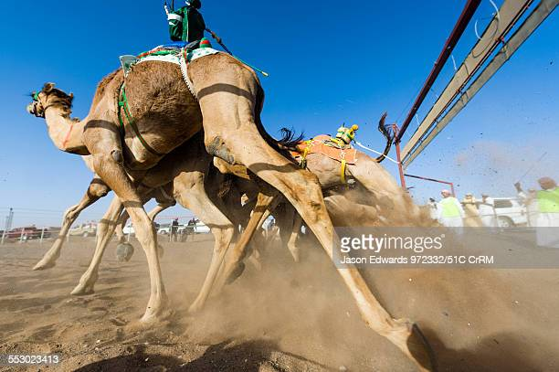 Racing camels launch from the start gate and stampede down a sand race track Bidiya Sharqiya Region Sultanate of Oman