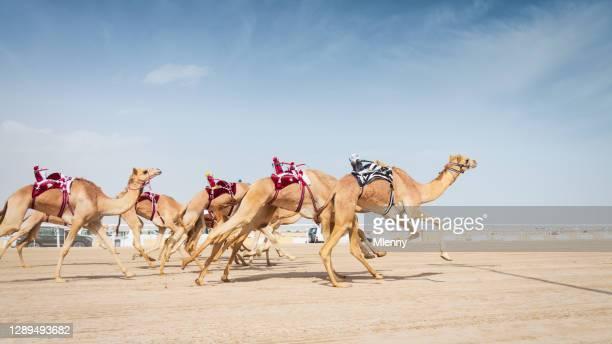 racing camels running in camel racing training mit roboter jockeys katar - camel active stock-fotos und bilder