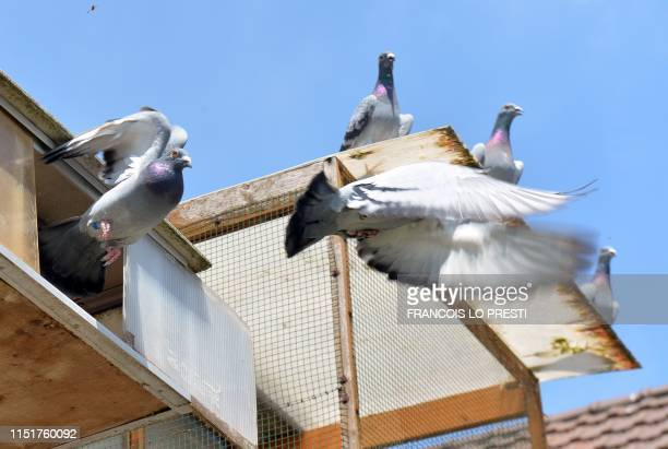 Racing pigeons fly from their coop where they are breed by a 26yearold enthusiast in Erre northern Frence on June 18 2019 Once a popular activity for...